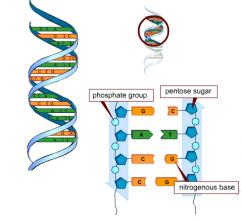 DNA-bases-242x220