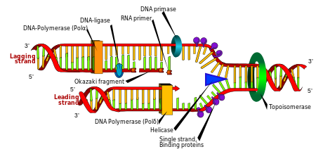 DNA_replication_en.svg_.png